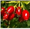 Rosehips Premium Powder-100% Natural-1 lb.-Chile